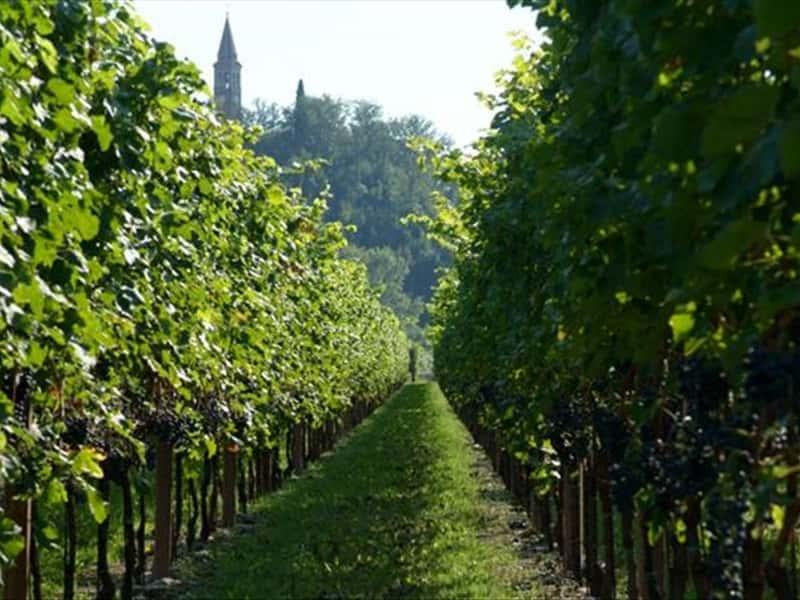 Tocai Friulano Grape Chardonnay Tocai Friulano